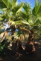 Washingtonia-Palmen